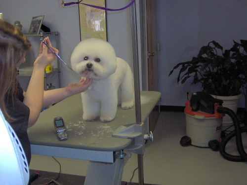 Molly the Bichon-Grooming Face of Dog