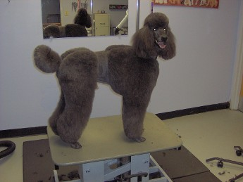 Dante the Standard Poodle